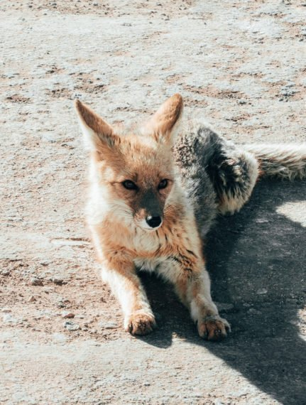 desert fox in atacama
